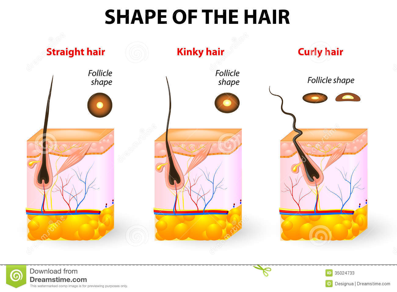 Shape Of The Hair And Hair Anatomy Stock Vector