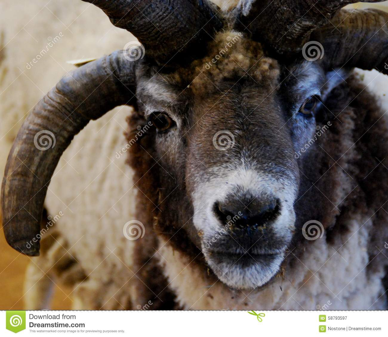 Sheep Stock Image Image Of Wool African Face Front