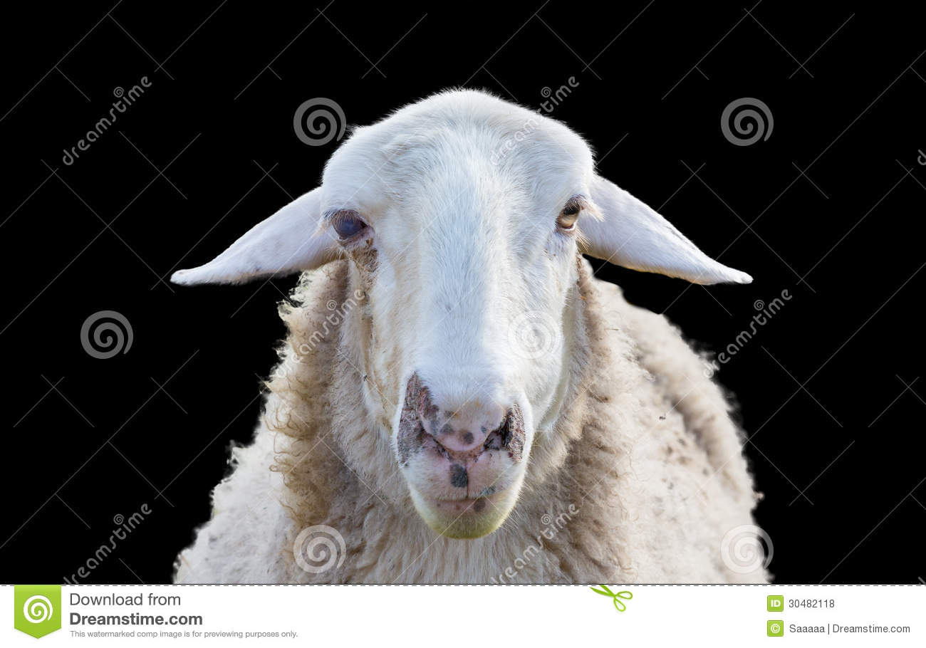 Sheep Head Stock Photo Image Of Background View Head