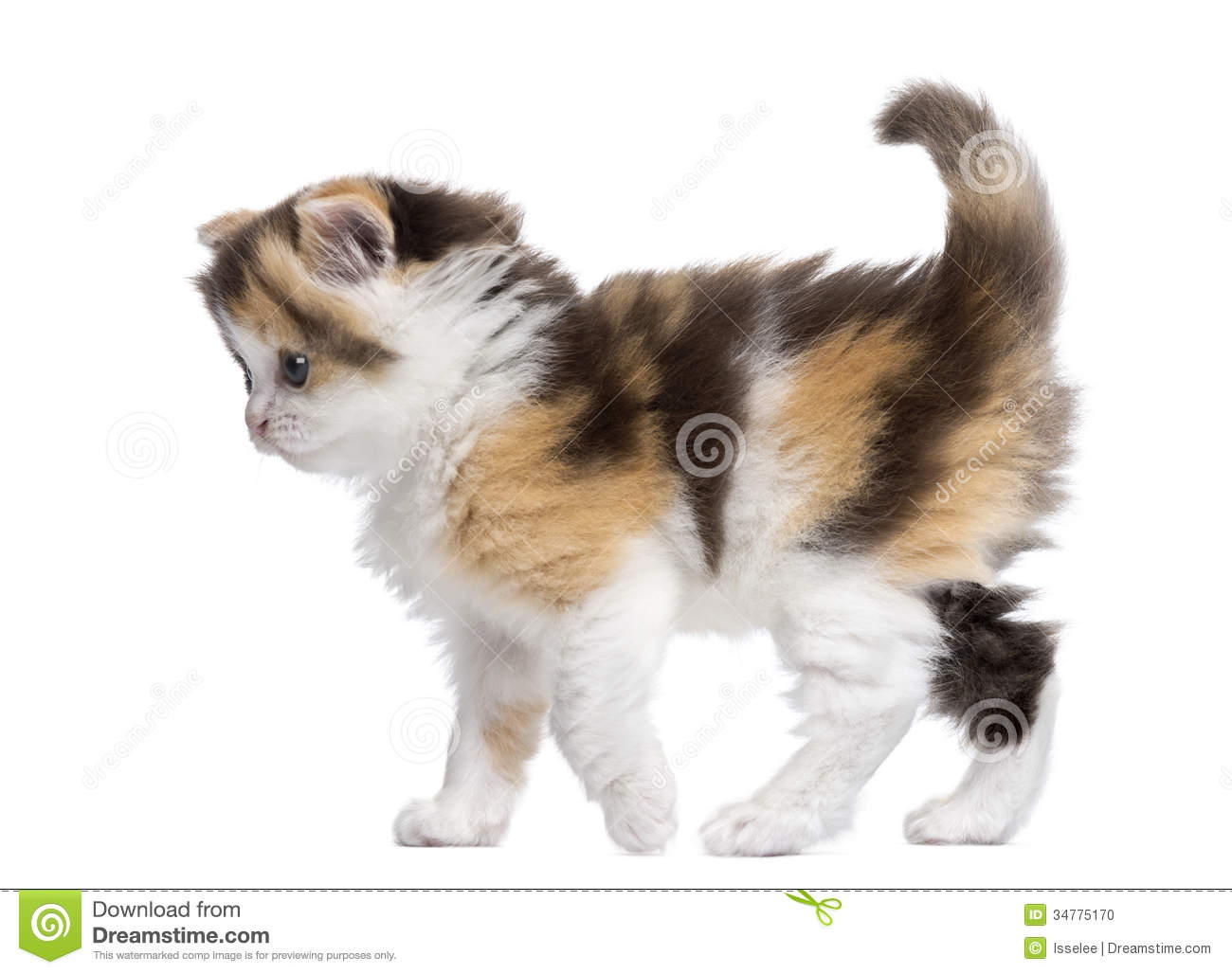 Side View Of A Highland Straight Kitten Walking Alert