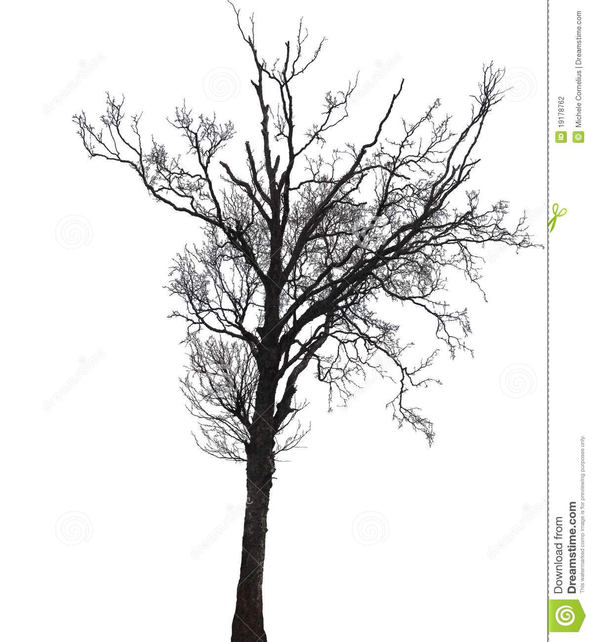 Silhouette Of A Birch Tree In Winter Stock Photo