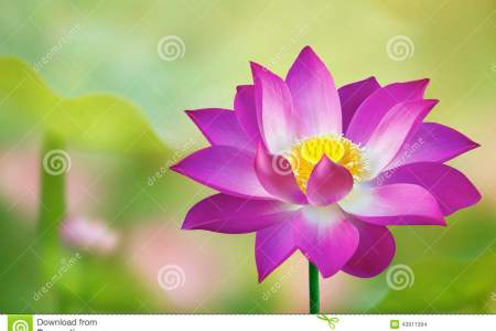 Purple lotus flower meaning flower shop near me flower shop tattoo idea tattoos pinterest tattoo feather tattoos and tatoos lotus flower tattoos totally getting a lotus flower on the top of my shoulder for my mightylinksfo