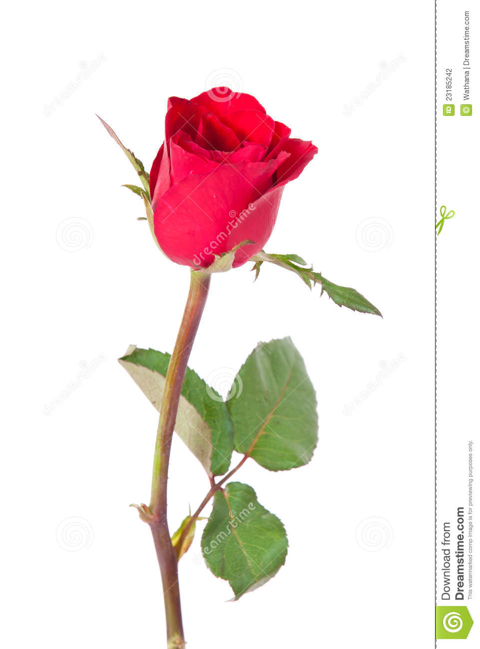 Single Red Rose Stock Photo Image Of Blossom Heart