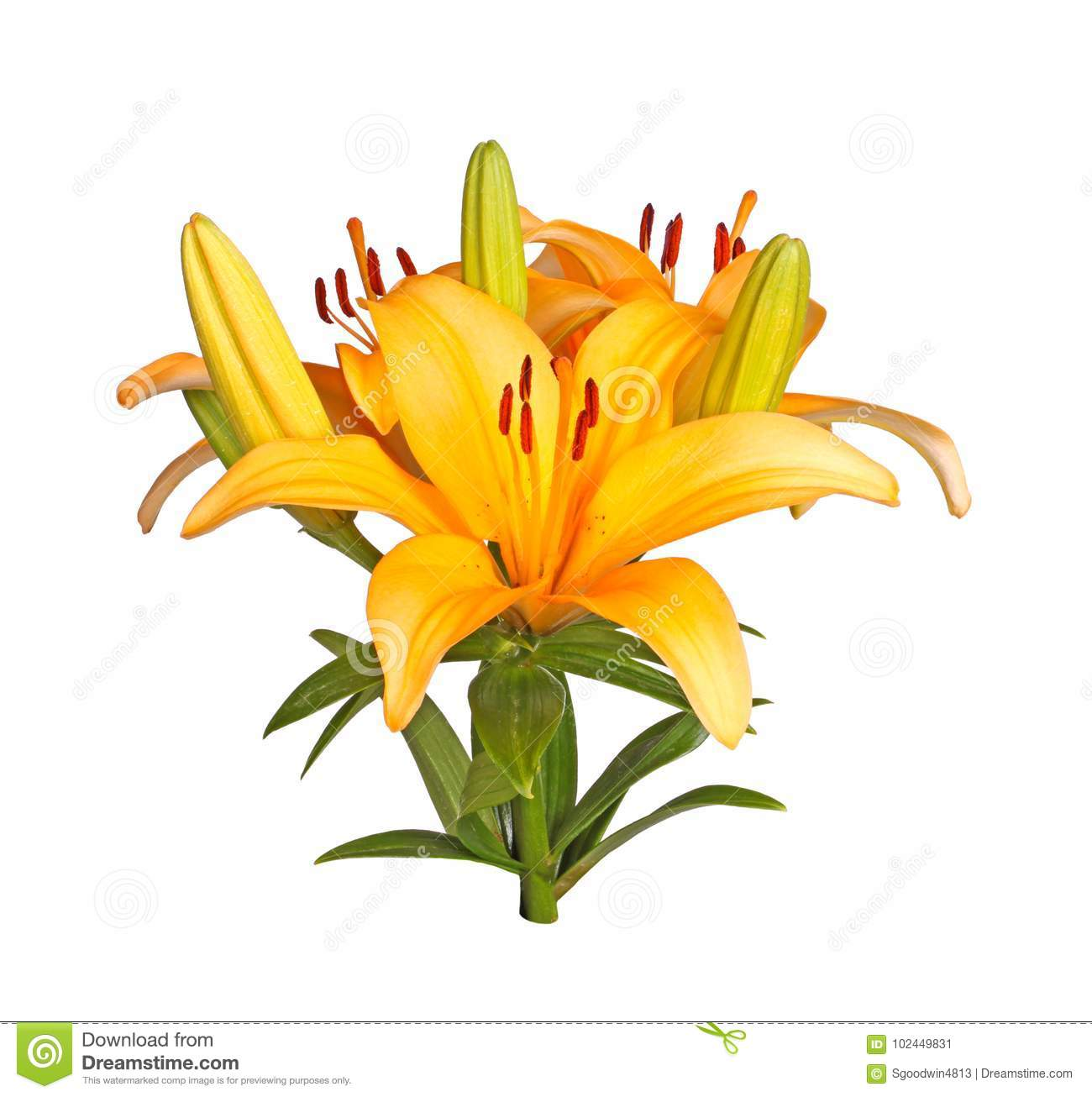 Single Stem With Bright Orange Lily Flowers Isolated Stock