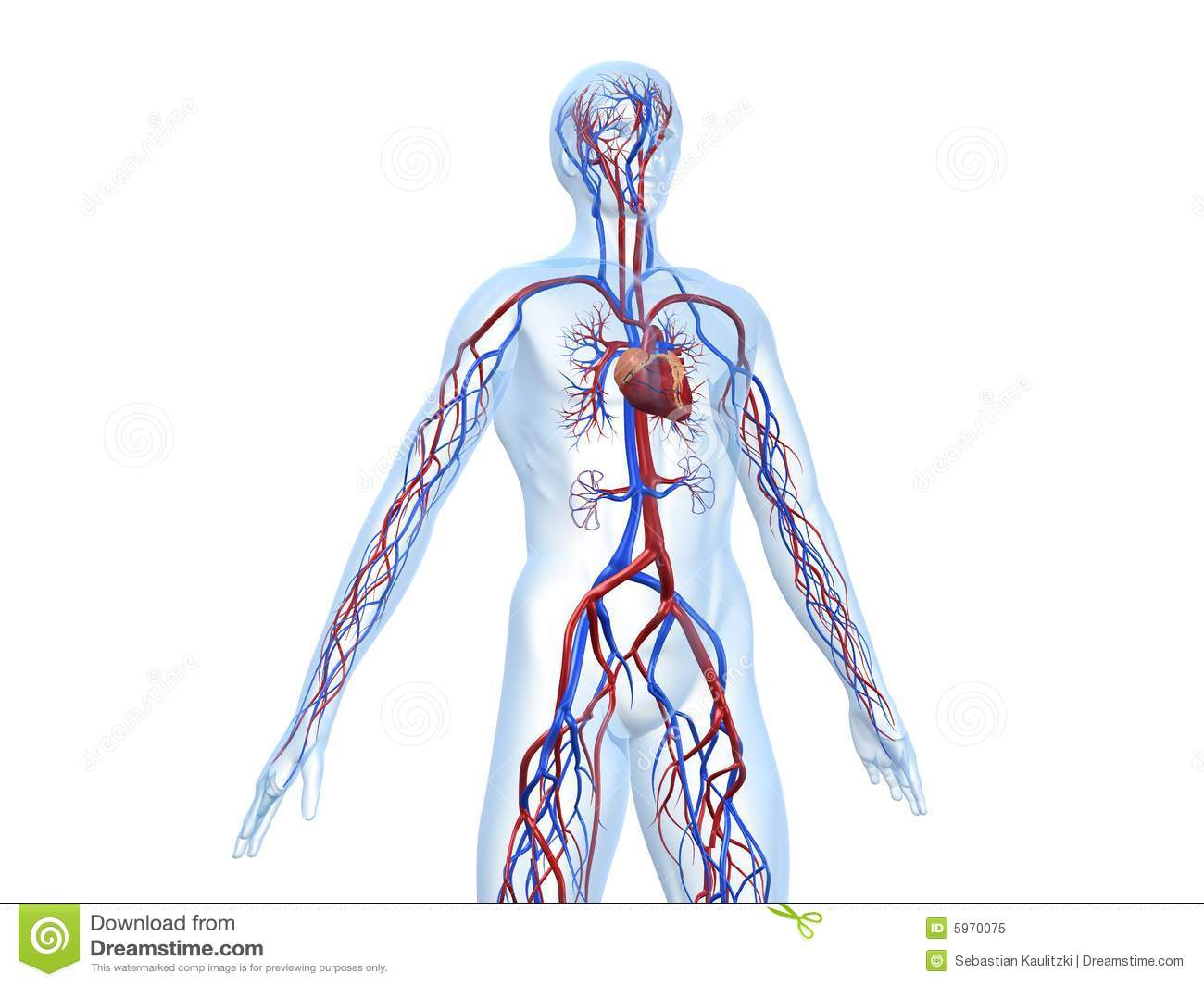 Respiratory System And Circulatory System Together
