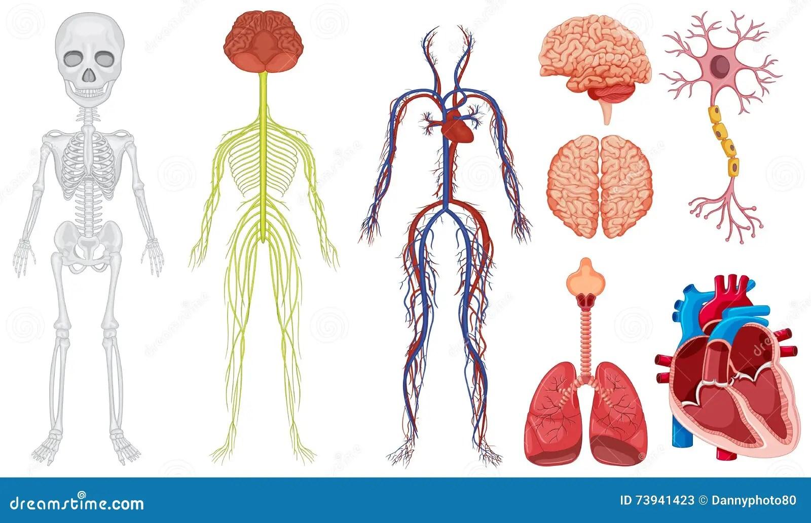 Sistema Diferente No Corpo Humano Ilustracao Do Vetor
