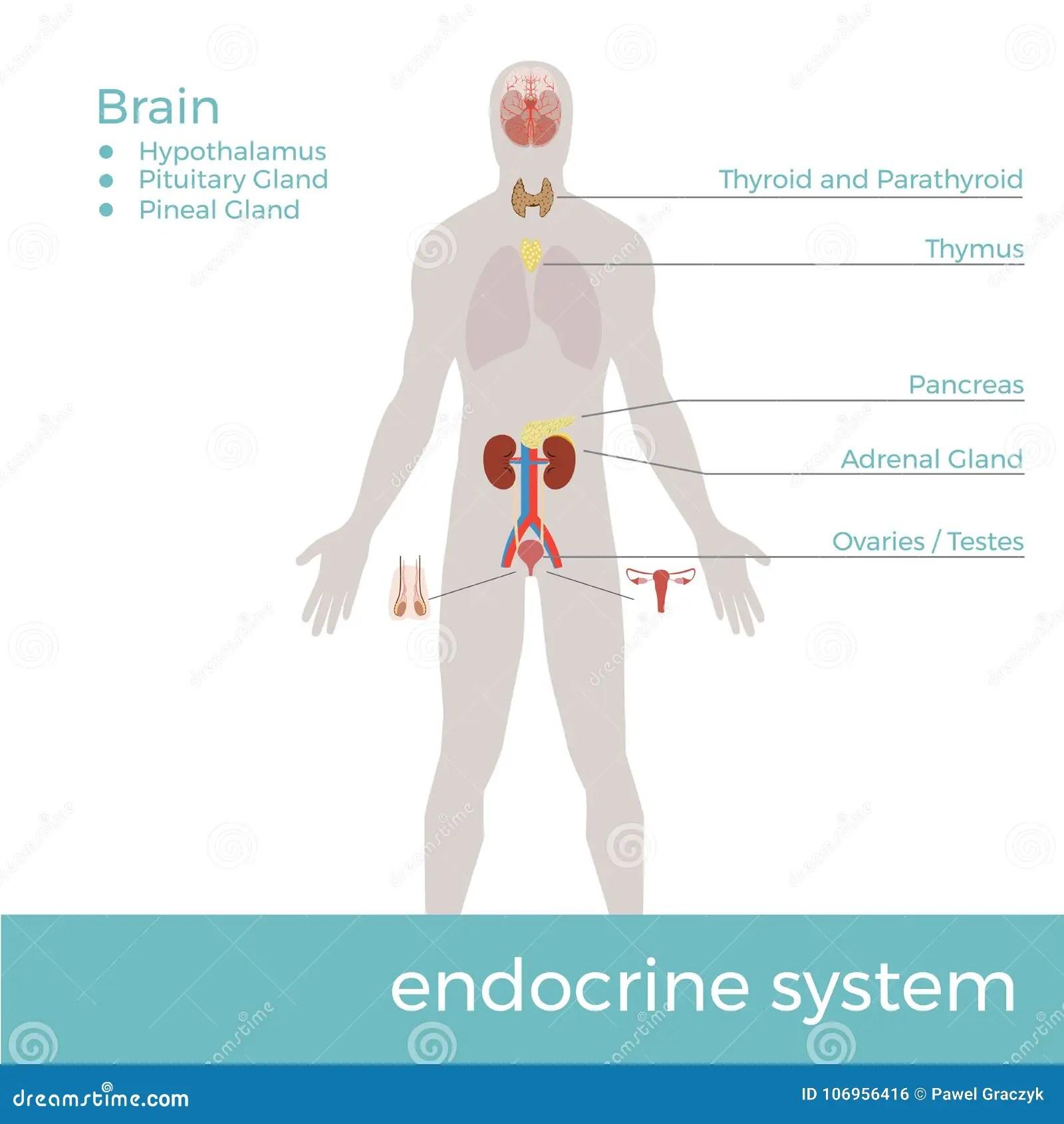 Sistema Endocrino Humano Ejemplo Del Formato Del Vector