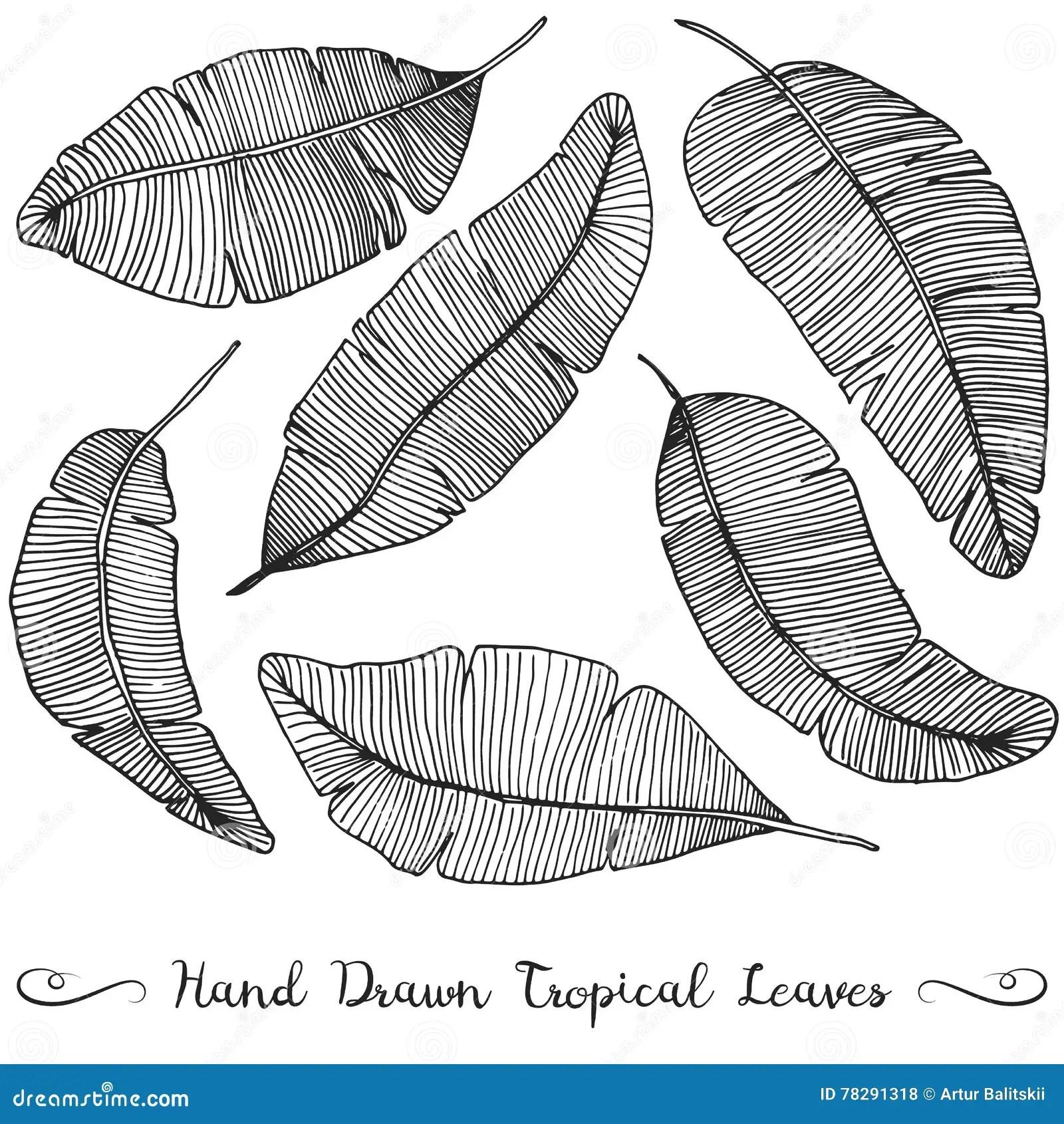 Drawing Banana Vector Illustration