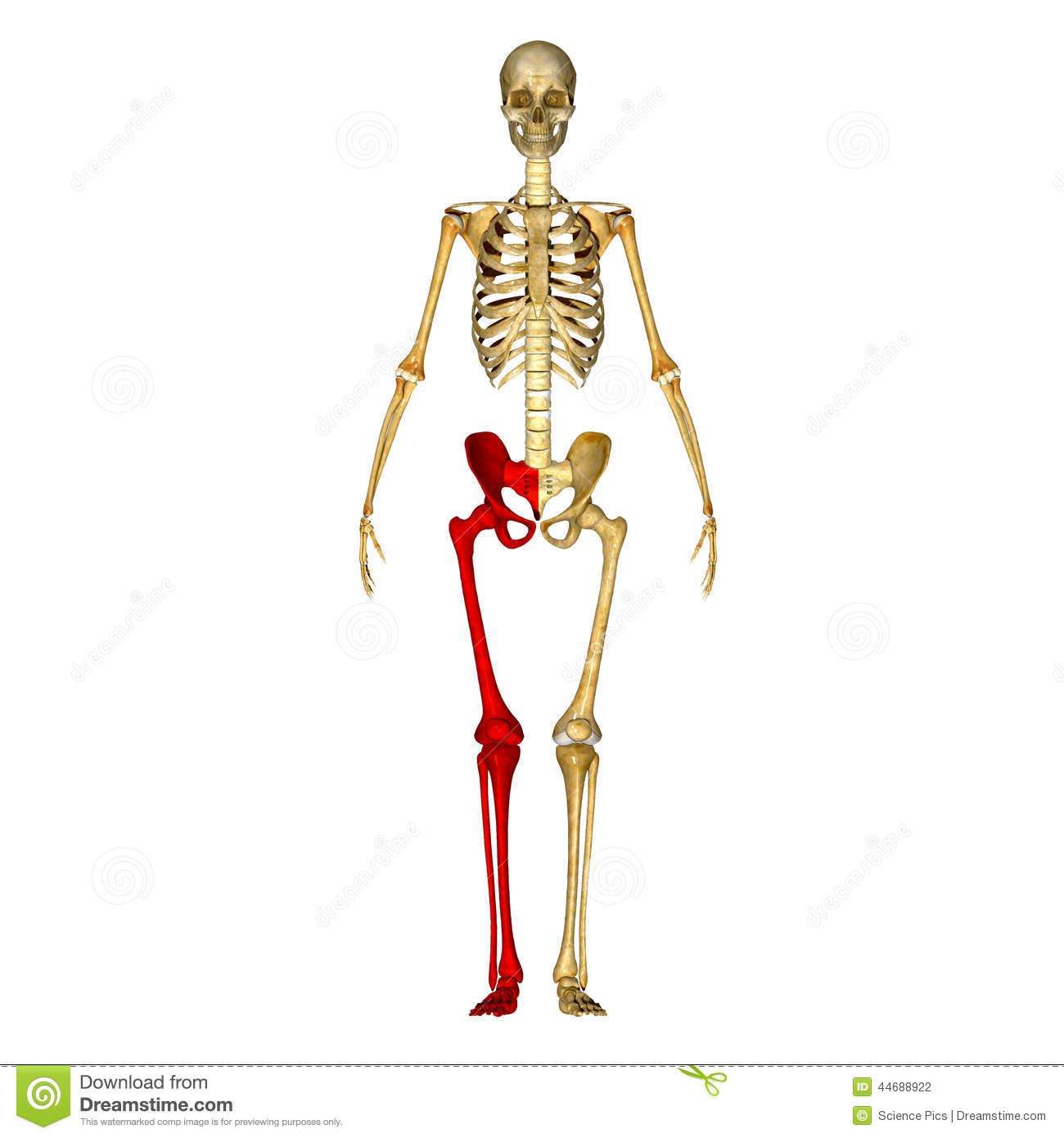 Skeleton Leg Bones Stock Illustration Illustration Of