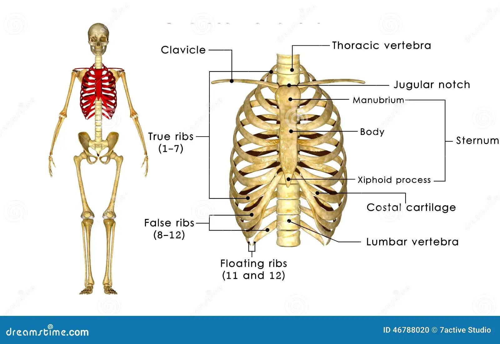 Skelett Av Brostkorgen Stock Illustrationer Illustration