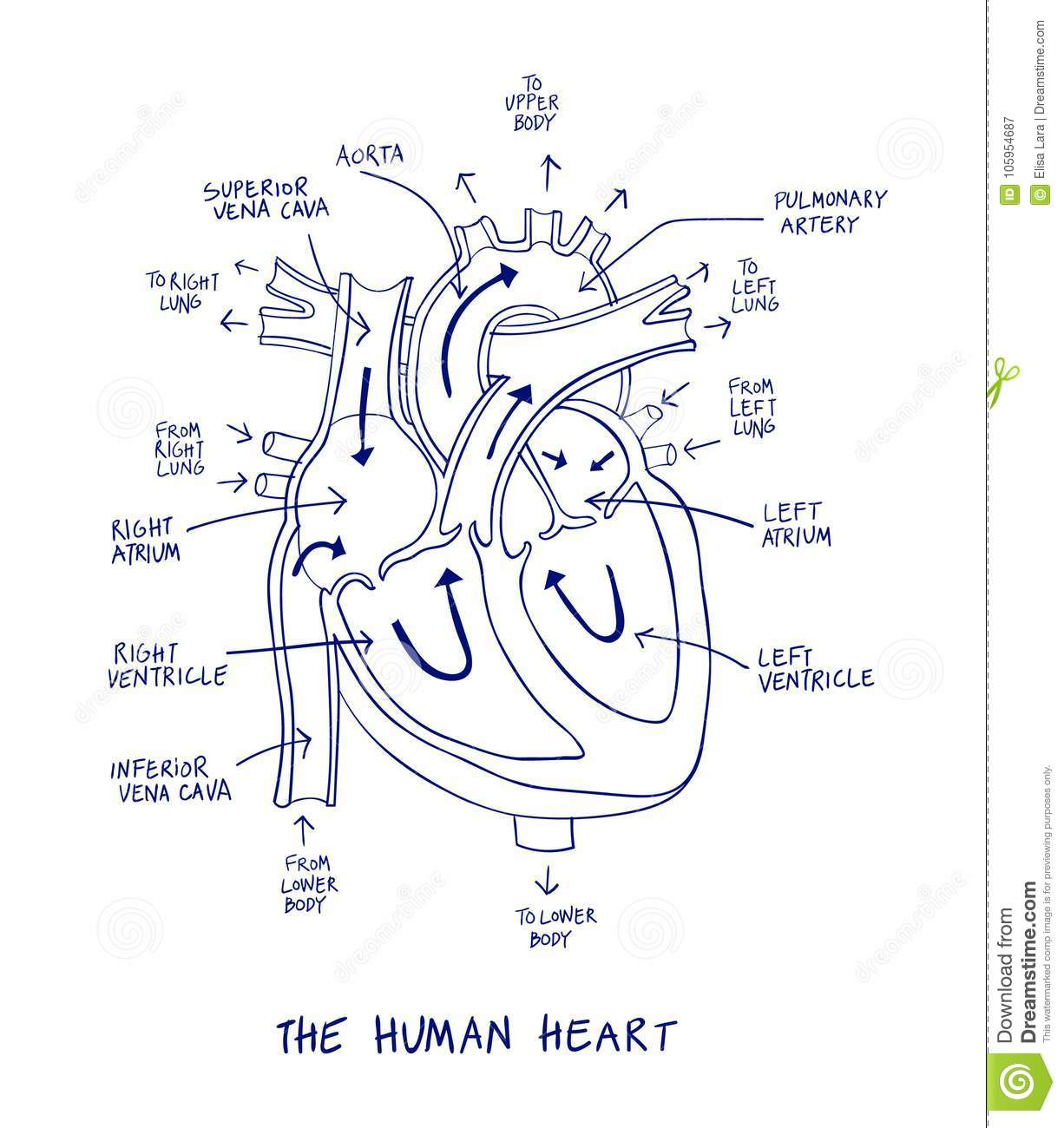 Sketch Of Human Heart Anatomy On Blue Line On A White
