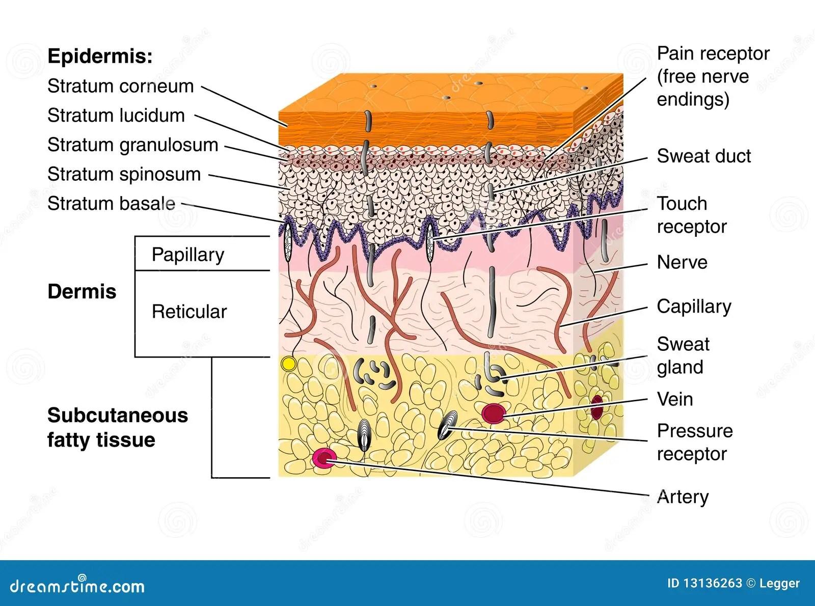 Skin Stock Vector Illustration Of Illustration Lucidum