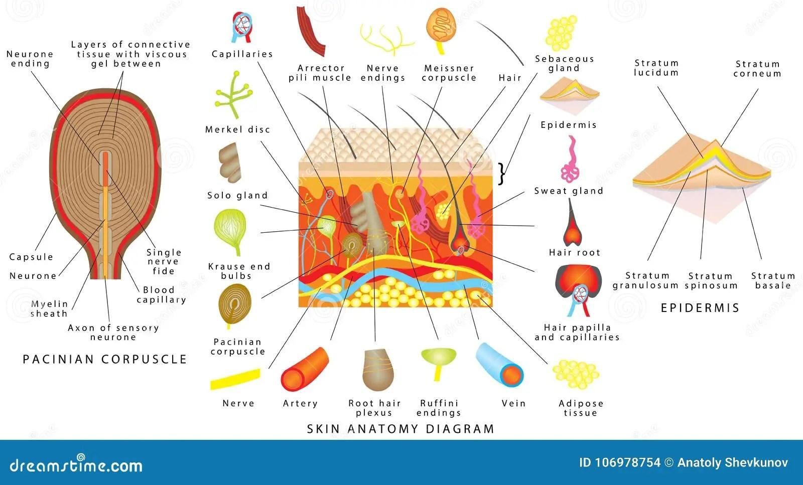 Skin Anatomy Diagram Stock Vector Illustration Of Normal