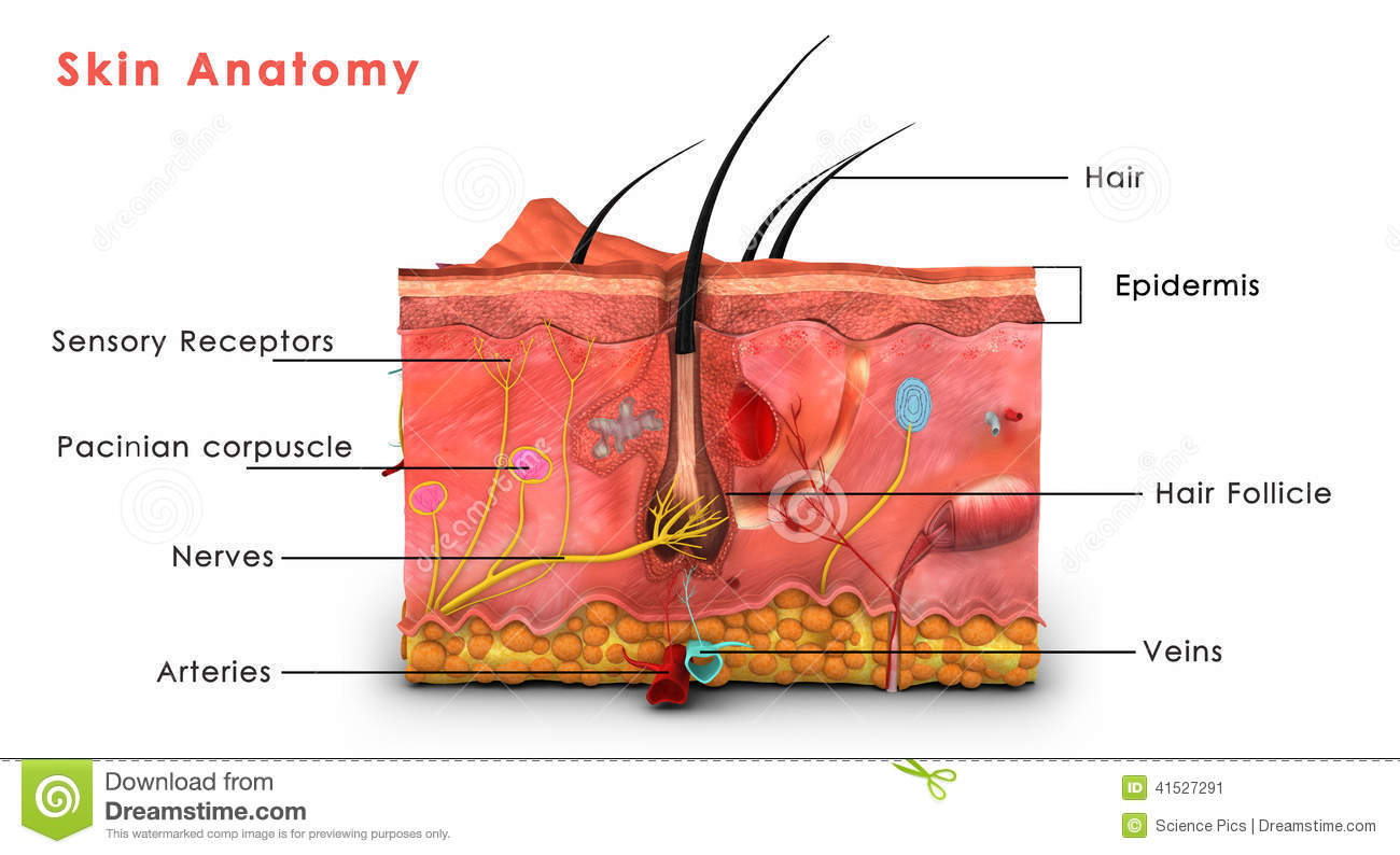 Skin Anatomy Labelled Stock Illustration Illustration Of
