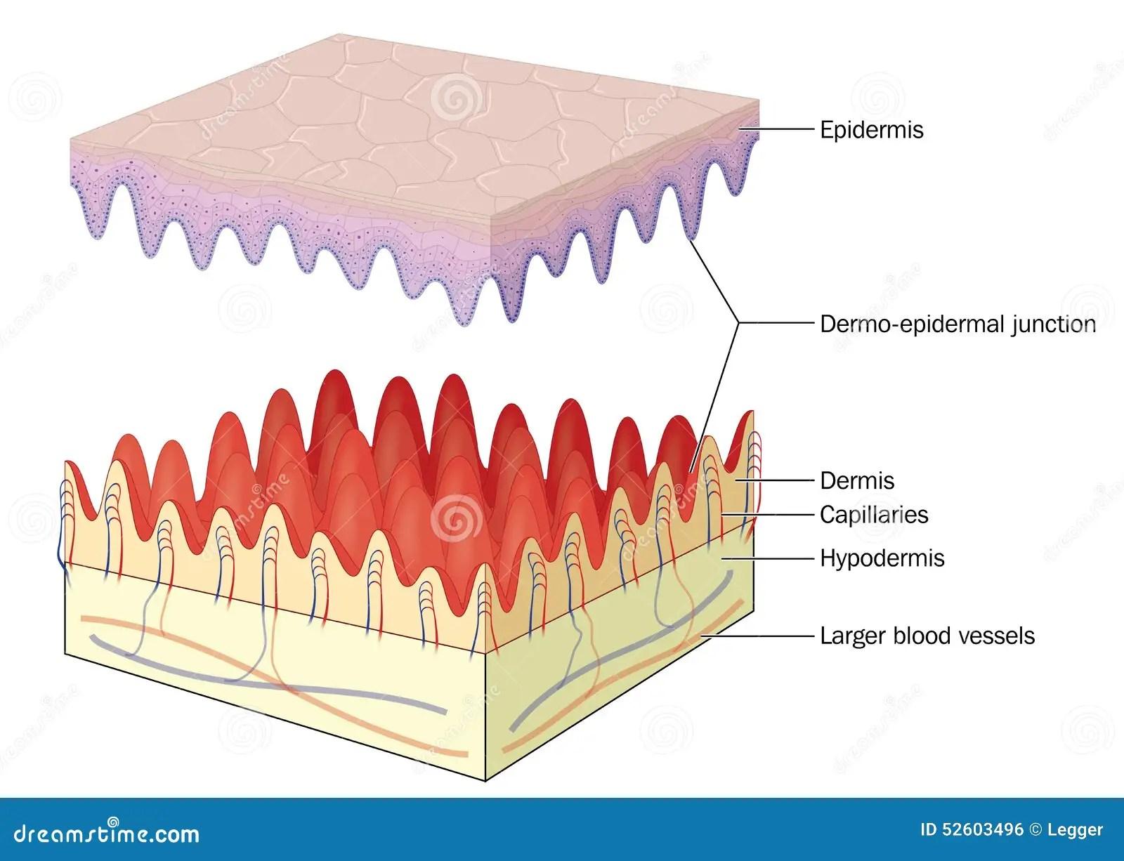 Skin Epidermal Dermal Junction Stock Vector
