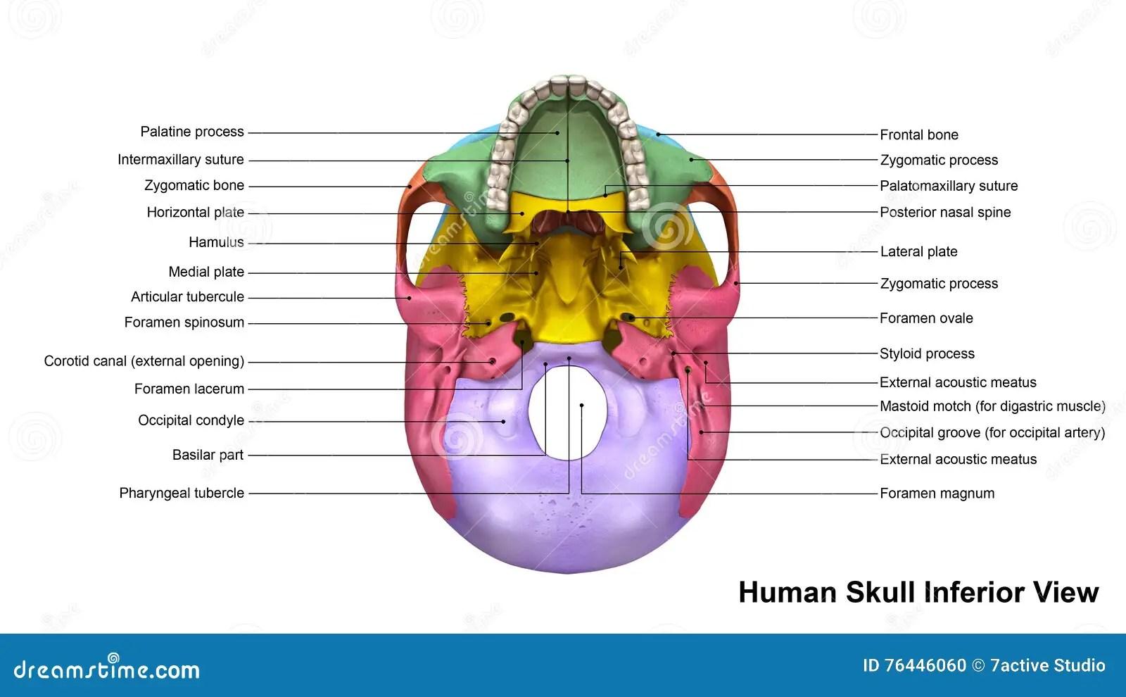 Skull Inferior View Stock Illustration Illustration Of