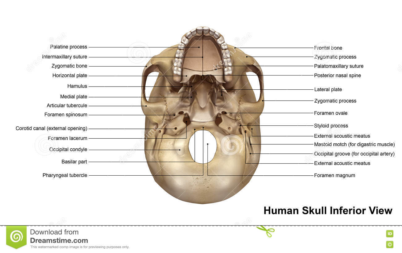 Skull Worksheet