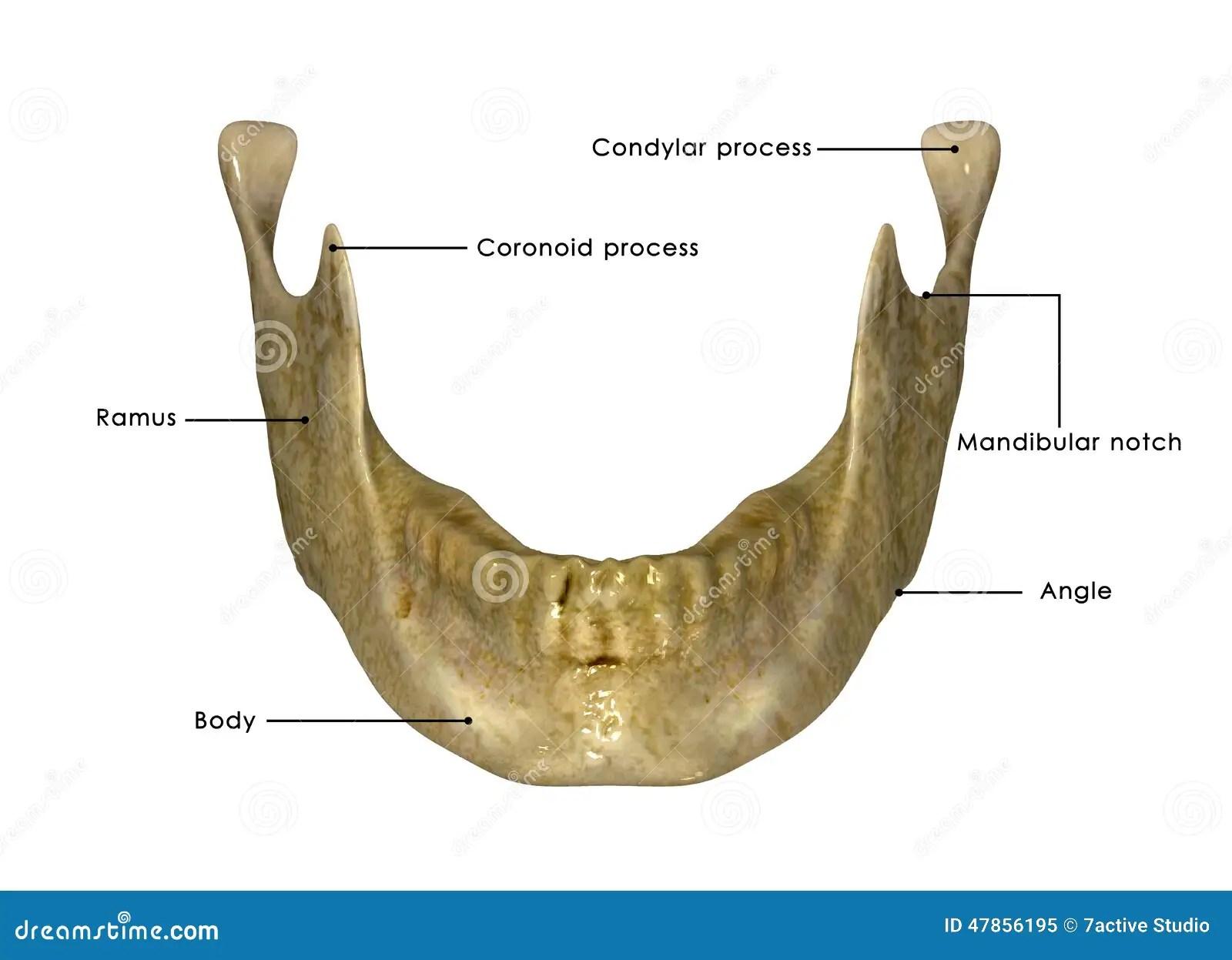 Skull Jaw Stock Illustration Illustration Of Body