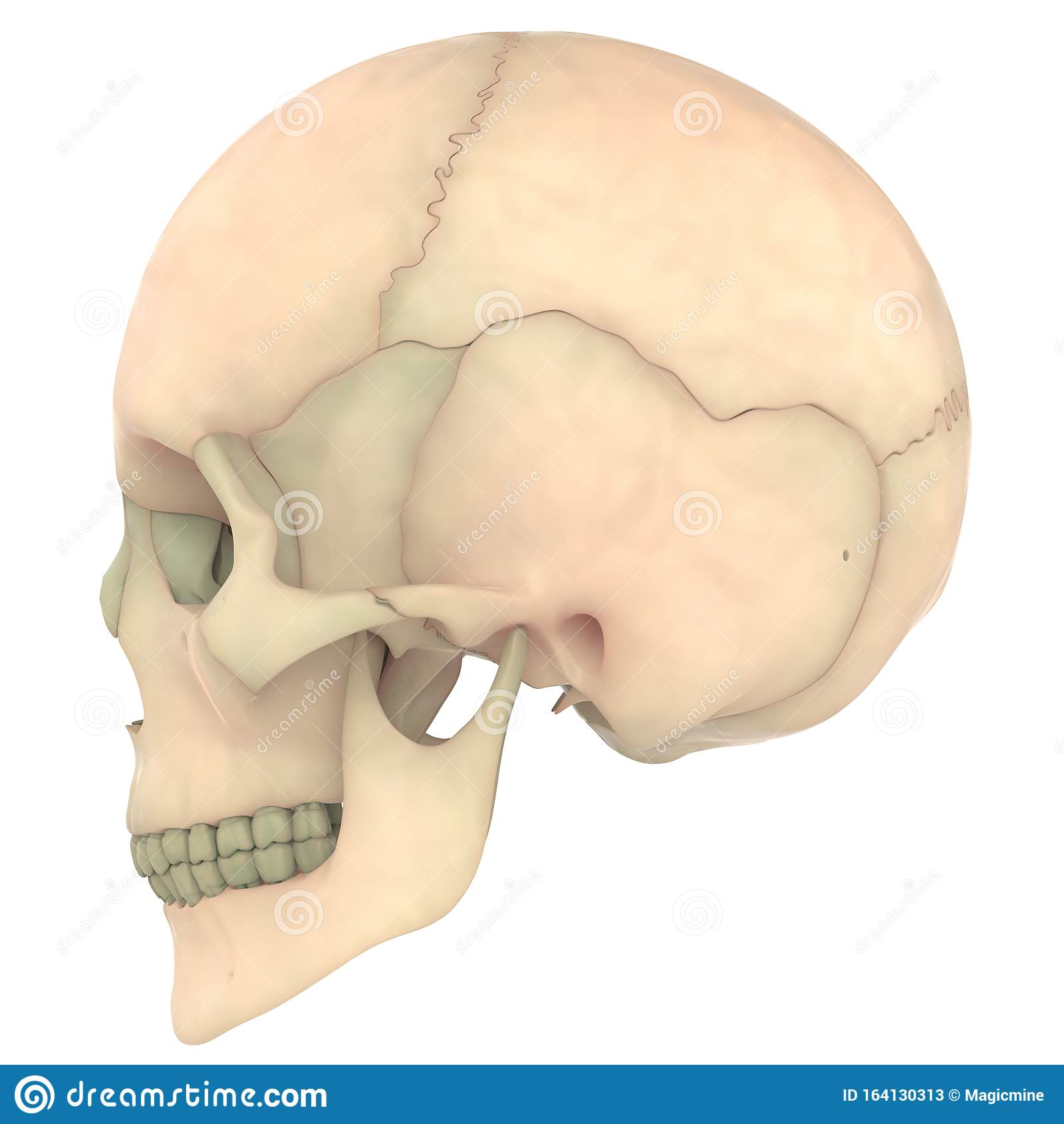 Skull A Part Of Human Skeleton System Anatomy Lateral View