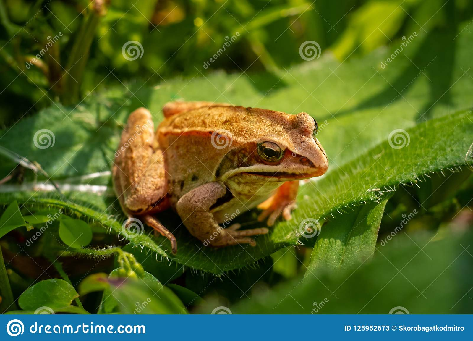 A Small Frog On Green Leaves In The Garden Stock Image