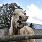 Smiling Horse In A Farm Of Italian Alp Mountains Stock Photo Image Of Farm Mountains 109126118