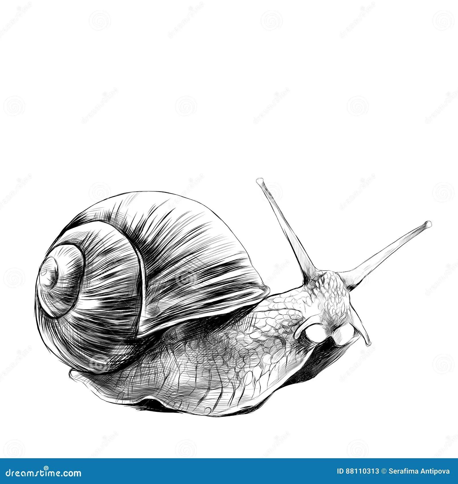 Snail Sketch Stock Illustrations 2 835 Snail Sketch