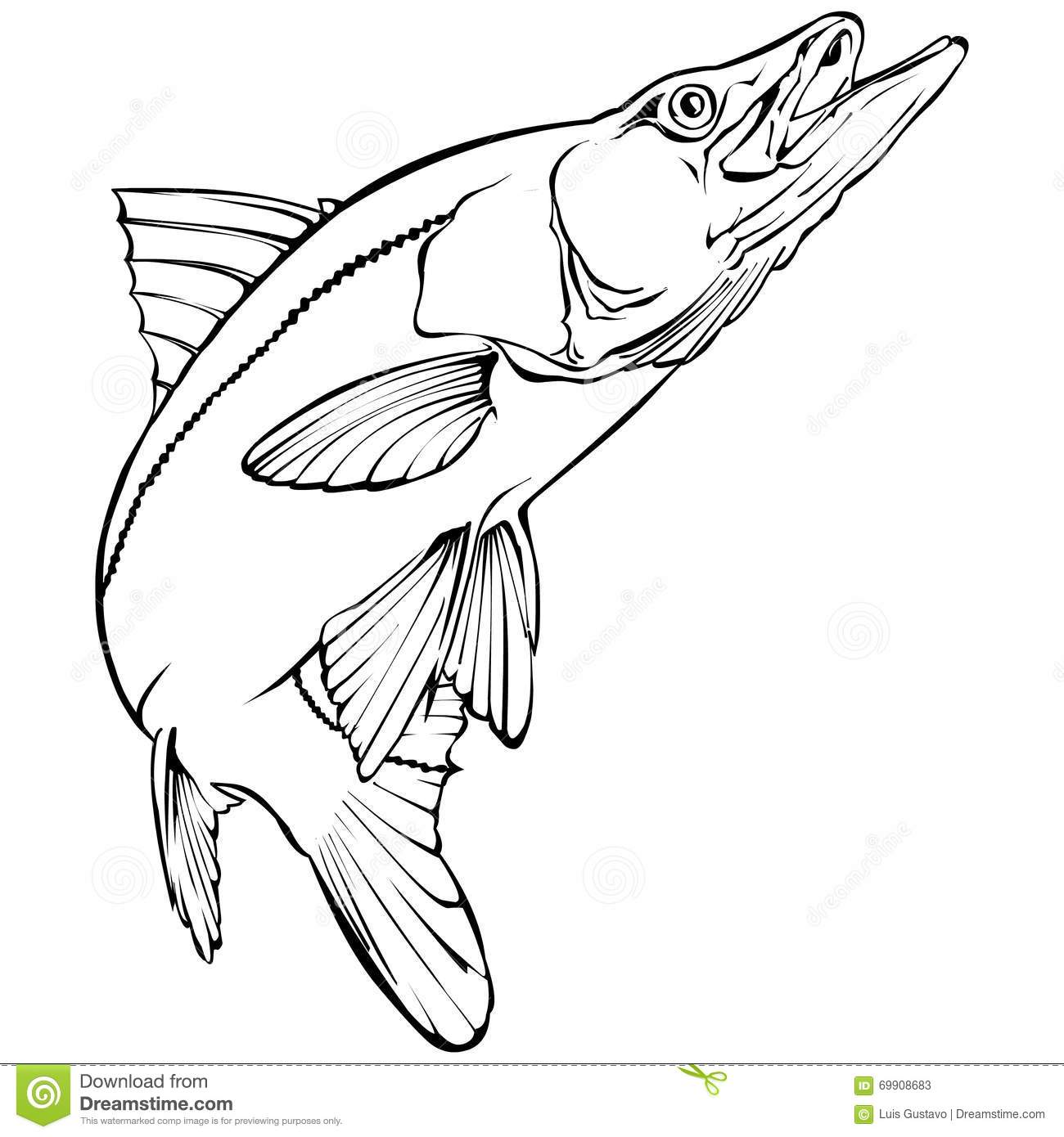 Snook Illustration Stock Vector Image Of Animal Bass