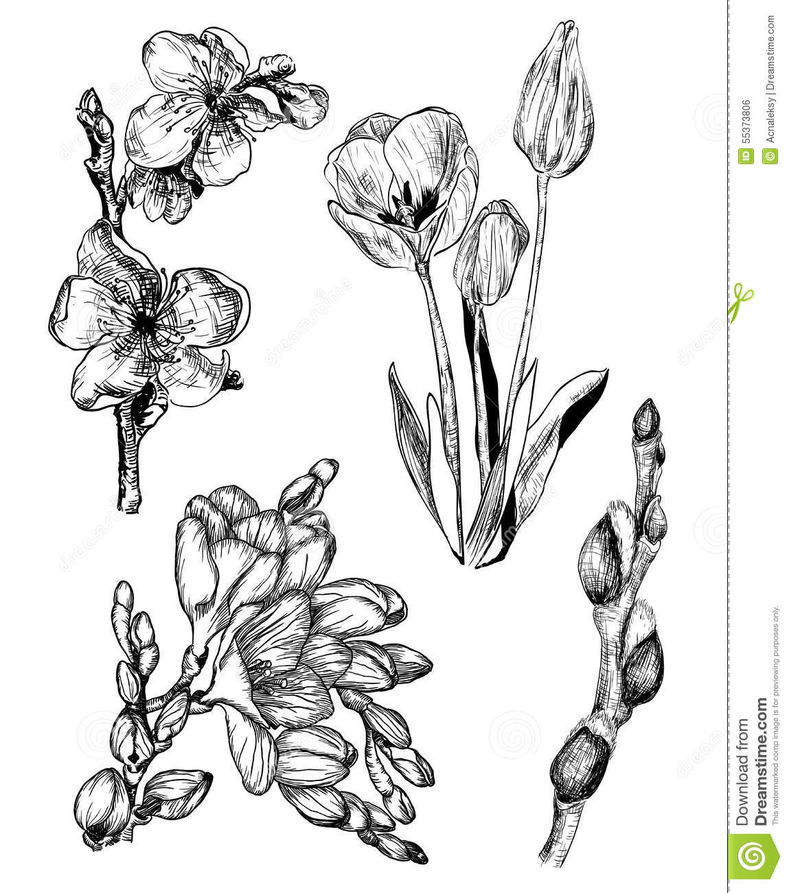 Spring Flowers In Sketch Style Sakura Tulip Freesia And