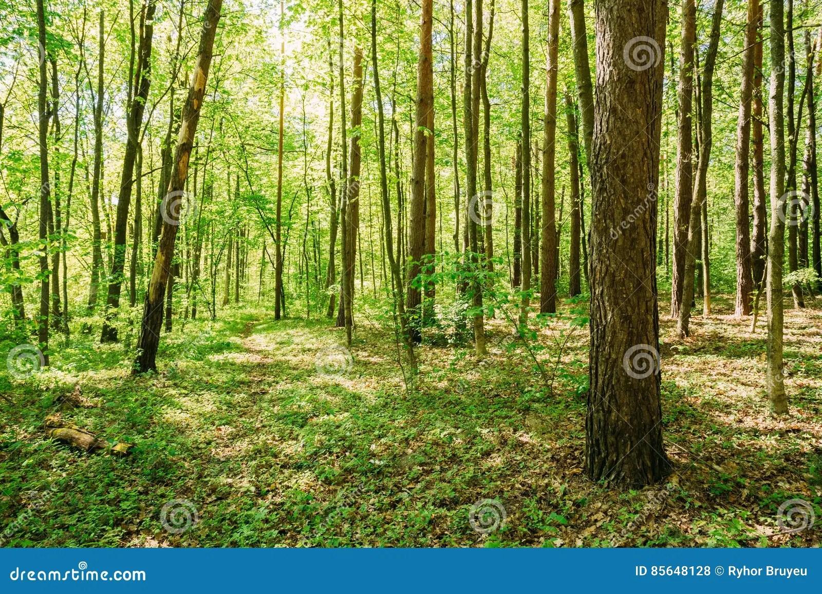 Spring Summer Maple Trees Woods Sunlight In Deciduous