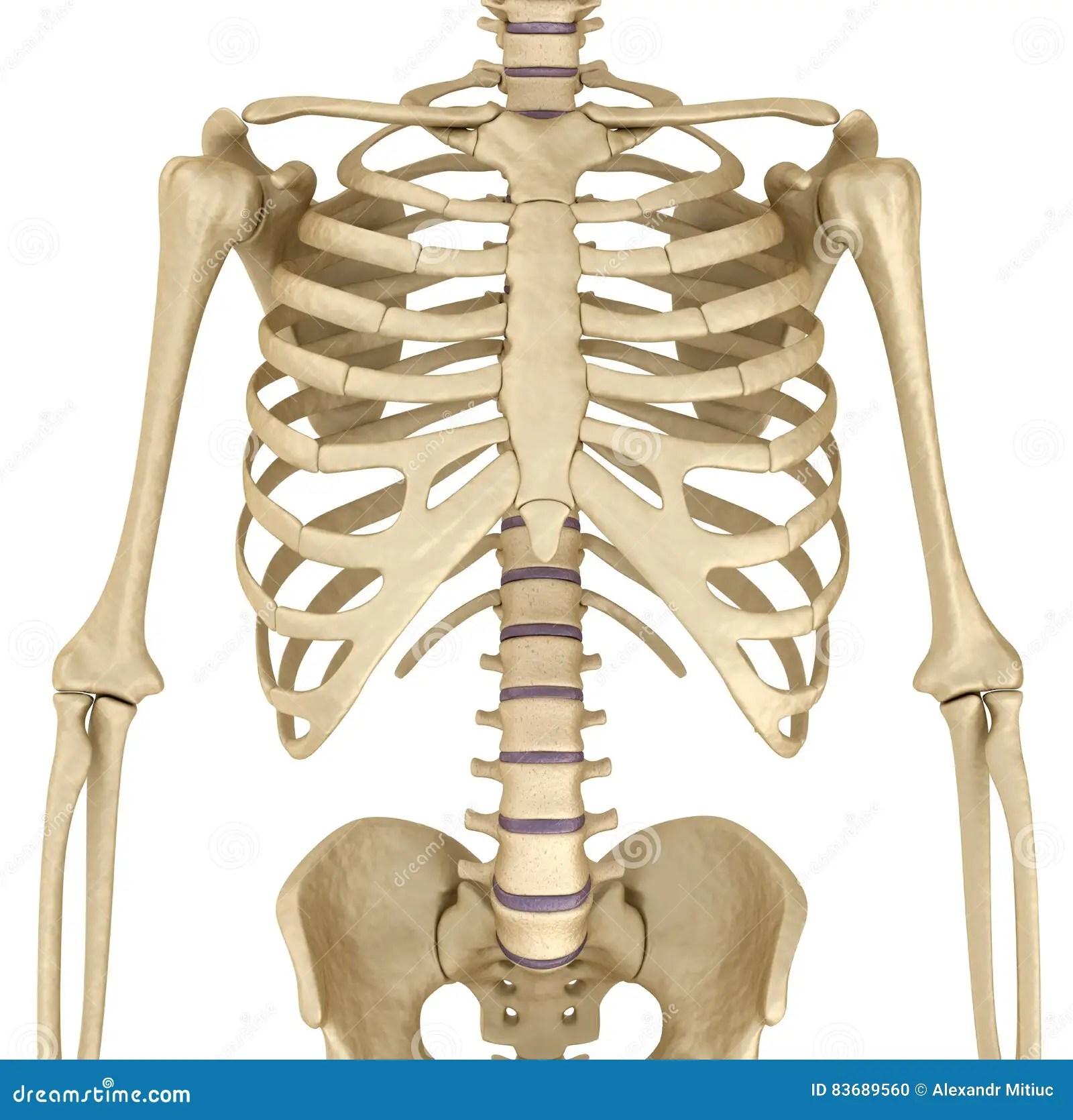 Squelette Humain Vue De Face De Coffre De Sein