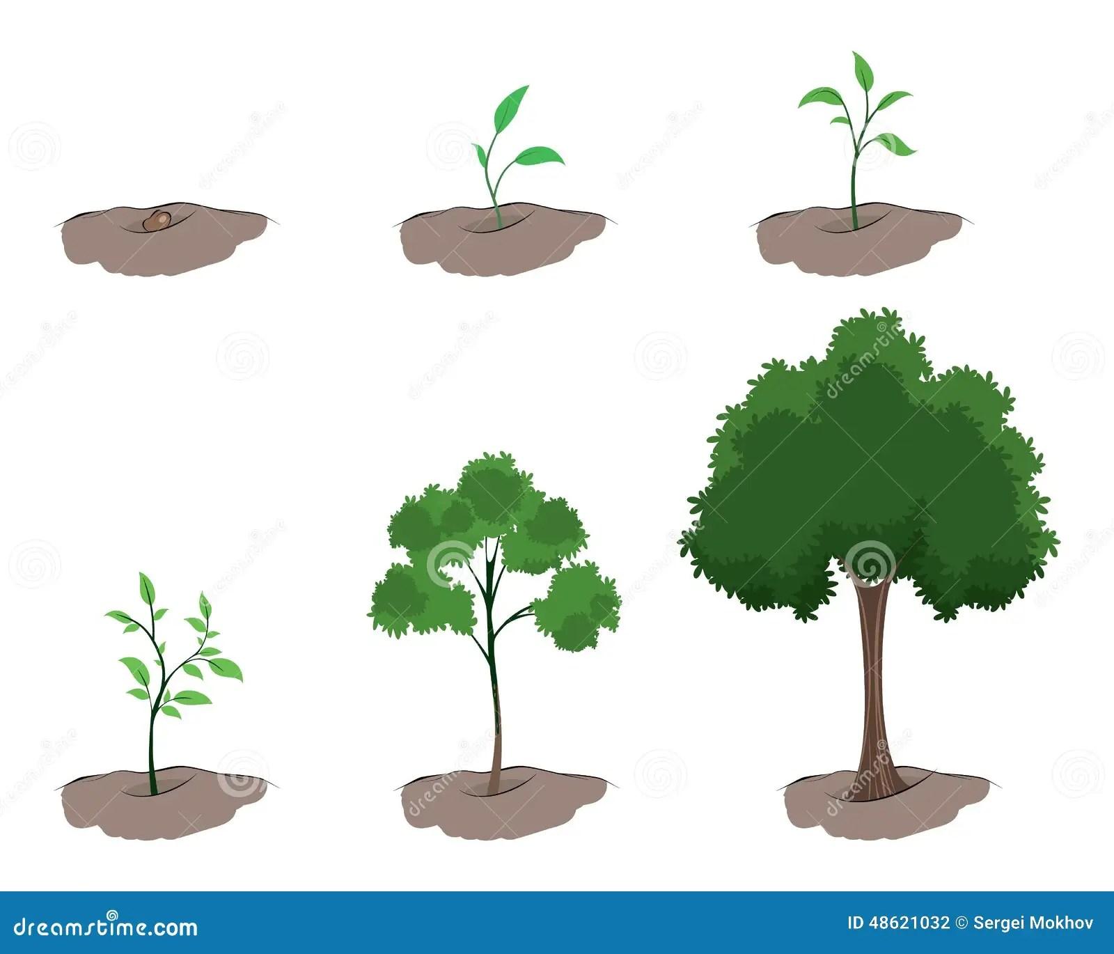 Stadium Des Wachstums Des Baums Vektor Abbildung