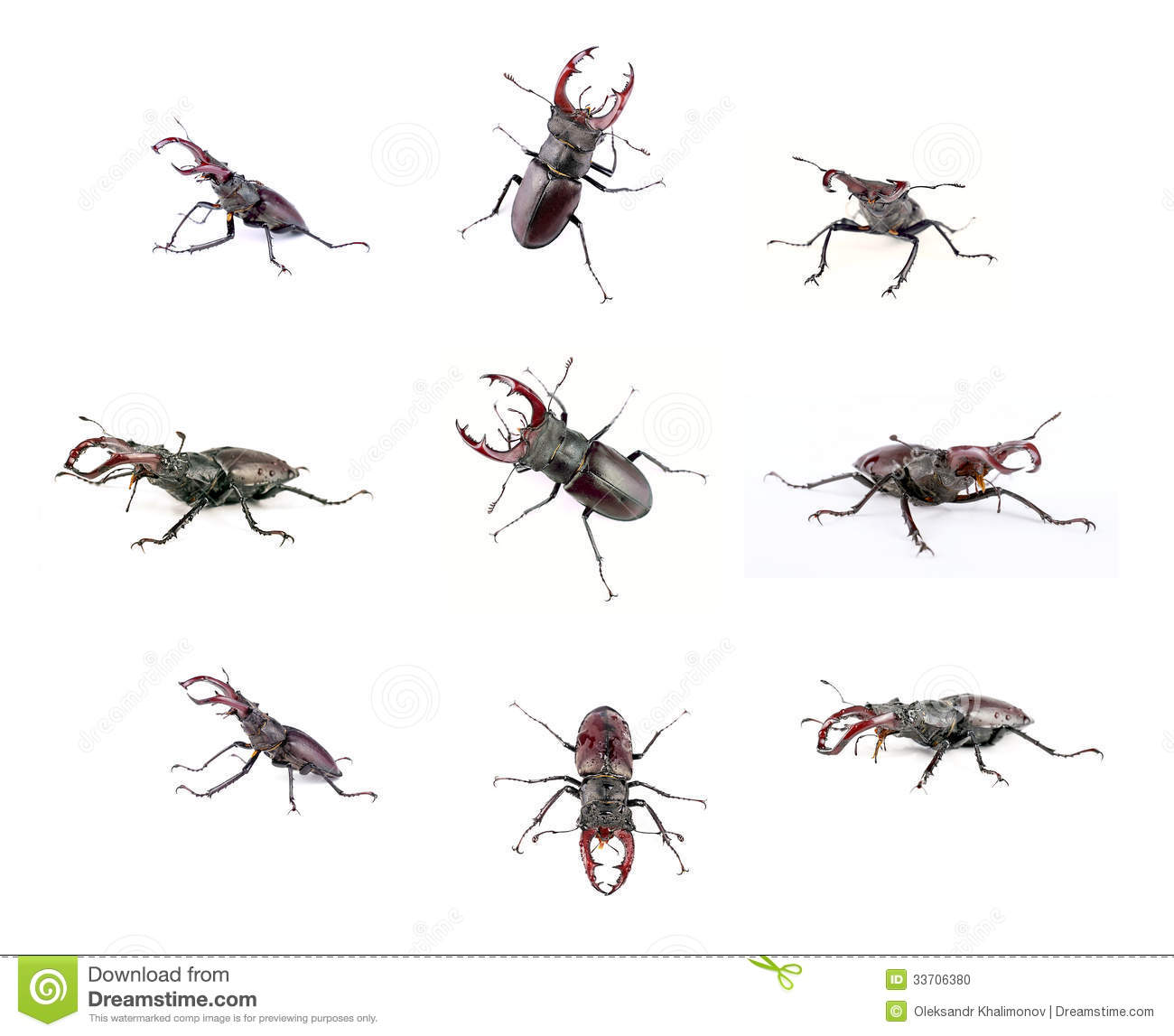 Stag Beetle Stock Photo Image Of Posture Flying