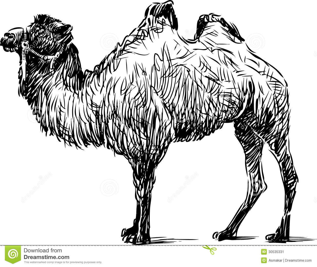 Standing Camel Stock Vector Illustration Of Bactrian