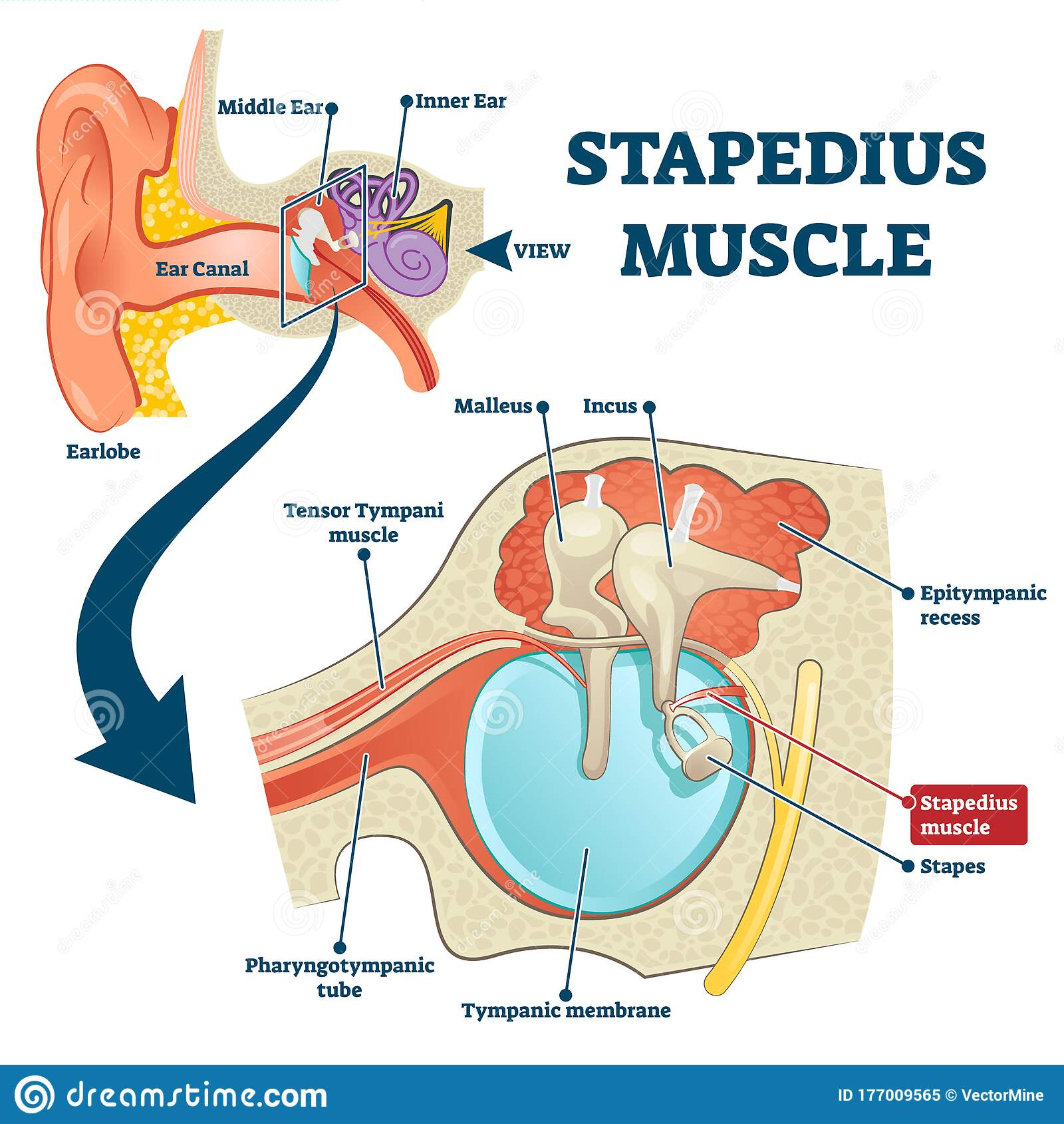 Stapedius Muscle Vector Illustration Labeled Anatomical