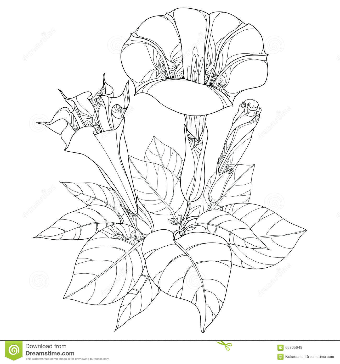 White Datura Flower Royalty Free Stock Image