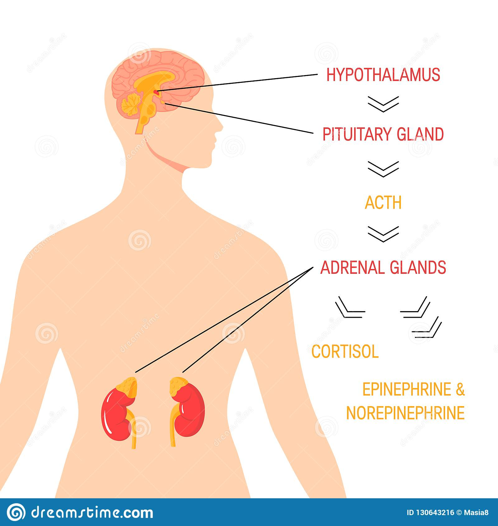 Stress Response System Vector Endocrine Medical Diagram