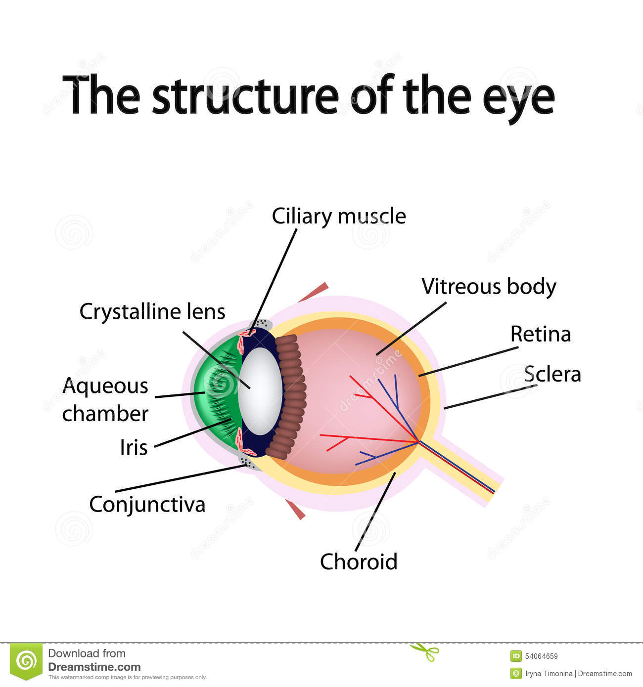 The Structure Of The Eye Stock Vector