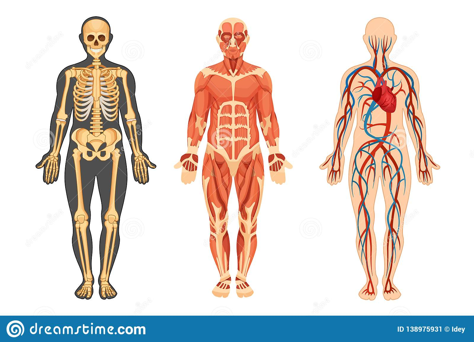 Structure Of Human Skeleton Muscular System System Of
