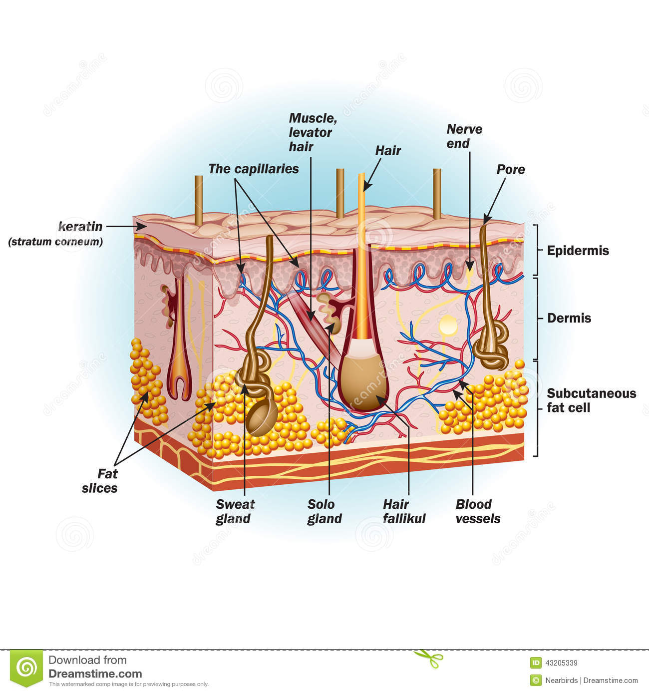 The Structure Of Human Skin Cells Stock Vector