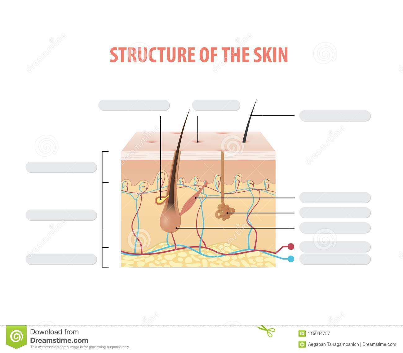 Structure Of The Skin Info Blank Illustration Vector On