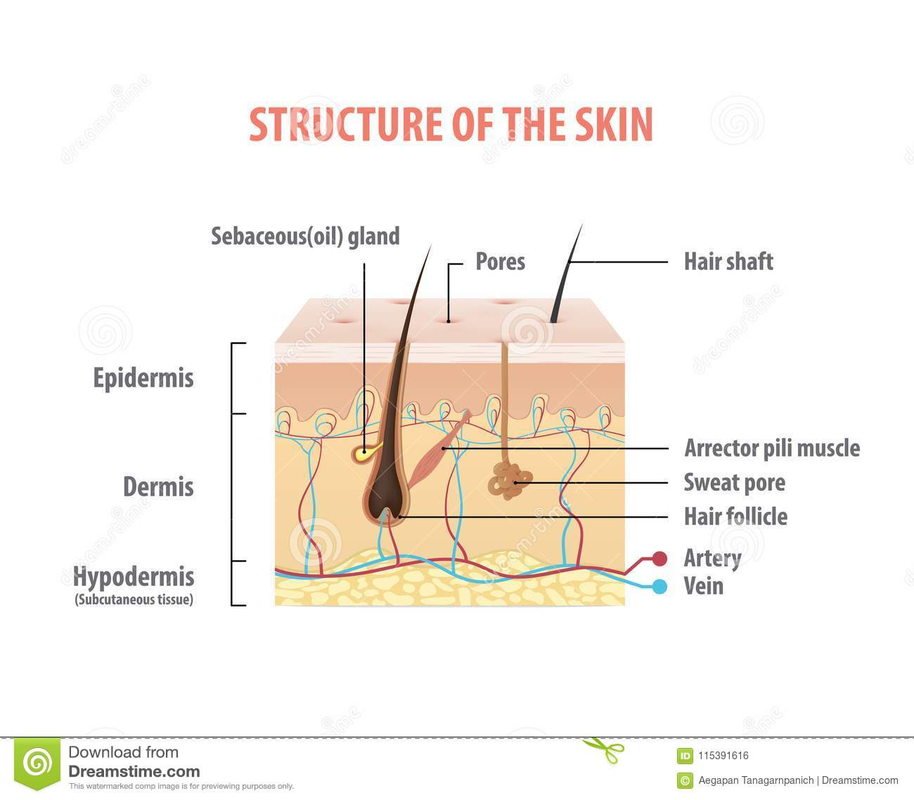 Structure Of The Skin Info Graphics Illustration Vector On