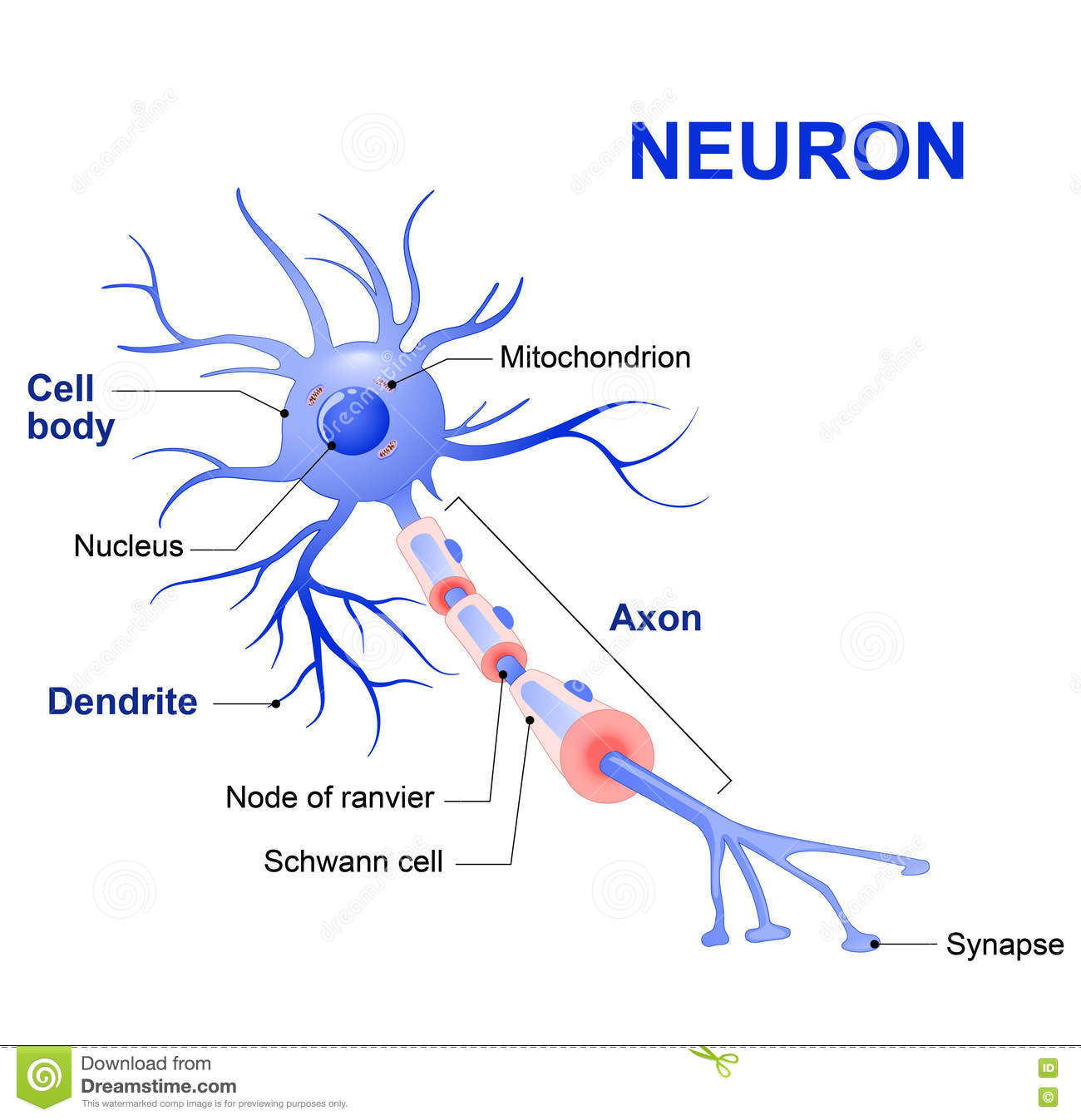 Structure Of A Typical Neuron Stock Vector