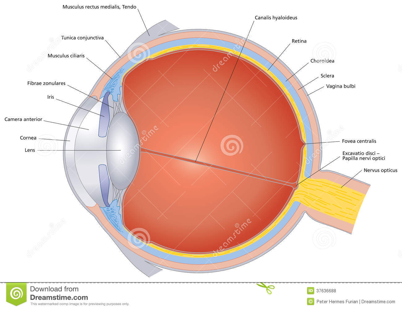 Structures Of The Human Eye Labeled Stock Vector