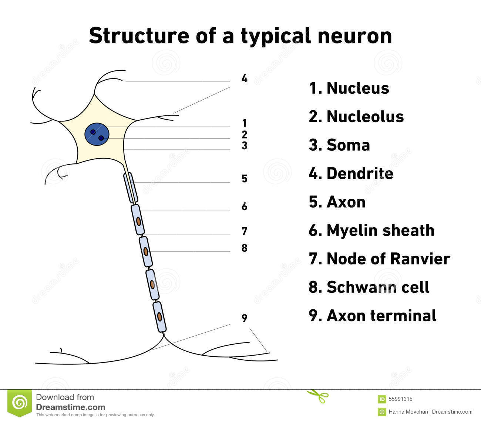 Struktur Eines Typischen Neurons Vektor Abbildung