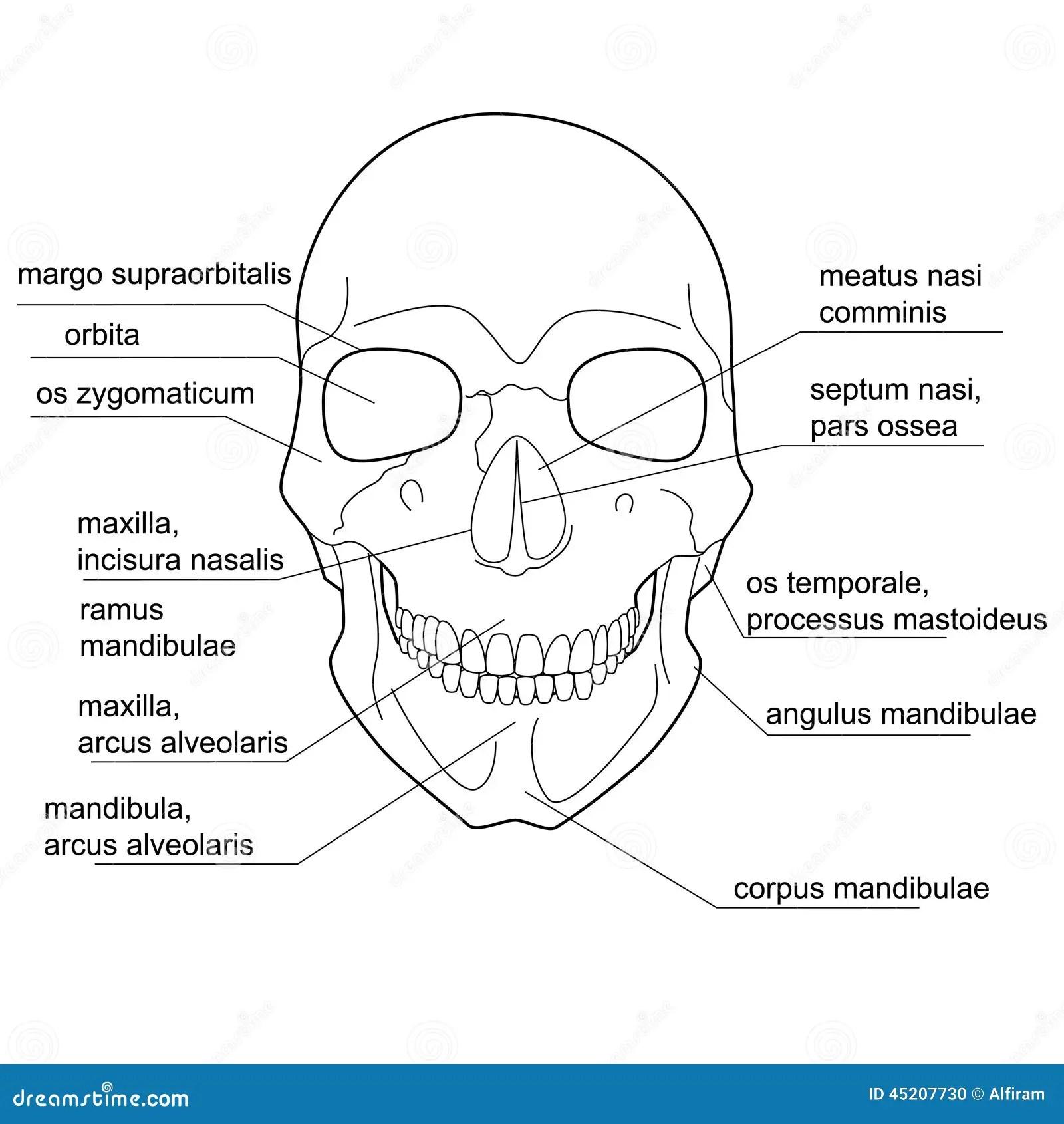 Struttura Del Cranio Umano Illustrazione Vettoriale