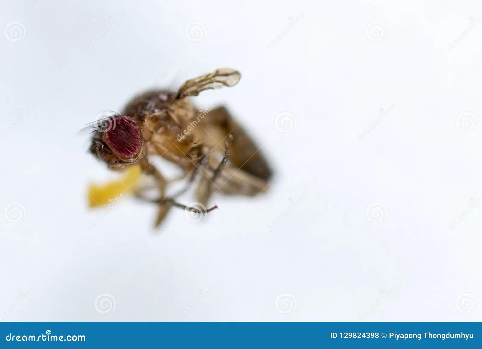 Study Genetic Of Drosophila Melanogaster Fruit Fly