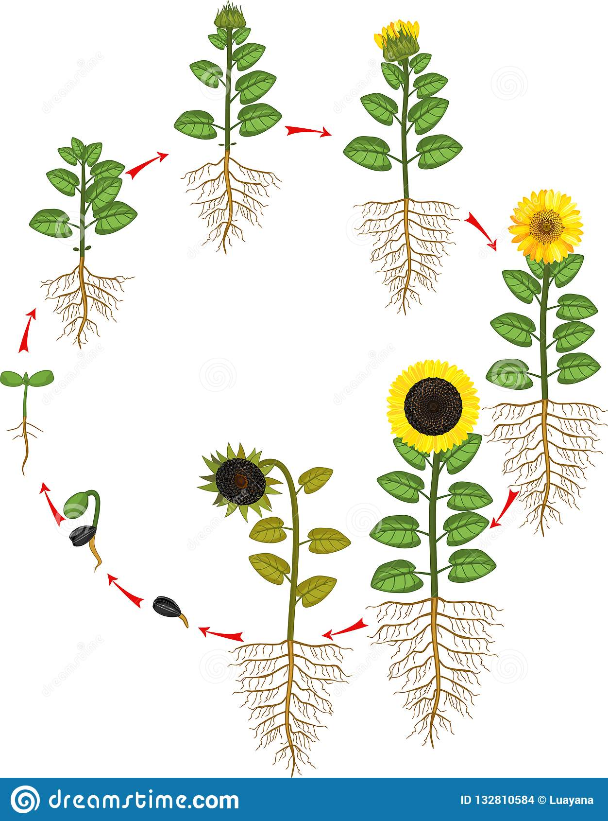 Sunflower Life Cycle Growth Stages From Seed To Flowering