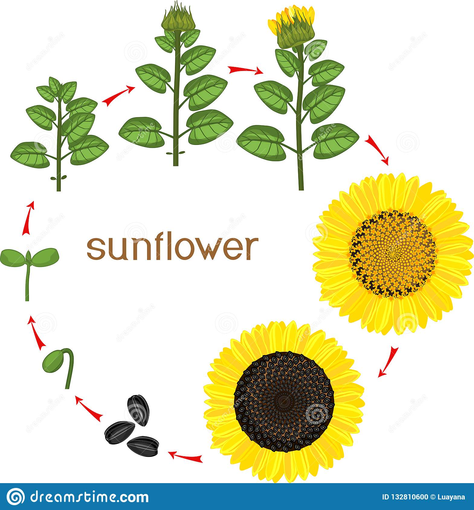Sunflower Life Cycle Growth Stages From Seeding To