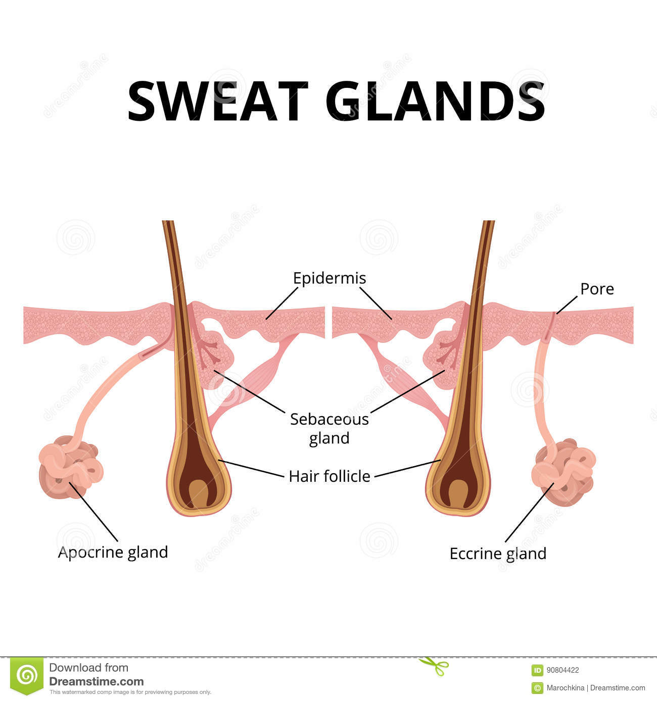 Sweat And Sebaceous Gland Stock Vector Illustration Of