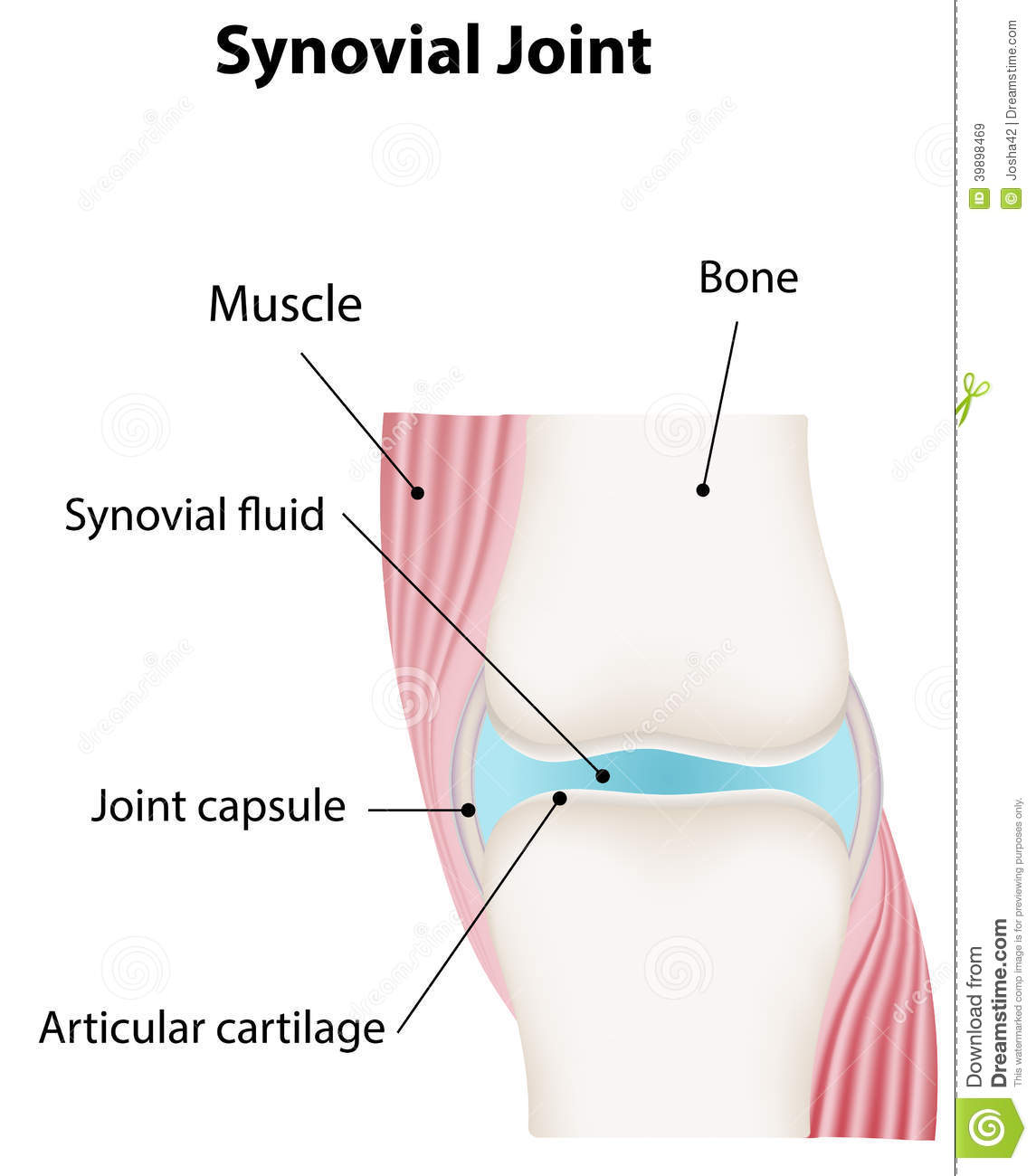 Synovial Joint Diagram Worksheet